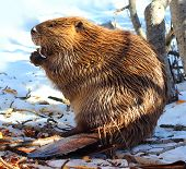 foto of beaver  - North American Beaver eating wood on the snow in winter - JPG