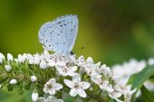 Holly Blue On Gooseneck Loosestrife