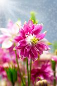 Aquilegia (common Names: Granny's Bonnet Or Columbine) Is A Perennial Plants