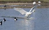 Bewick's Swan landing