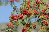 picture of rowan berry  - Rowan berries naturally hanging on the tree - JPG