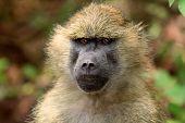 baboon found in Tanzania
