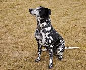 dalmatian sitting on dried grass