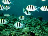 Sergeant major damselfish
