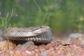 Arizona Twin-spotted Rattlesnake