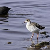An adult male Ruff (Philomachus pugnax)