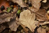 oak  and acorns