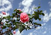 Roses Against The Sky