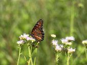 Monarch Butterfly On Blue Mist