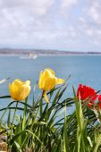 Tulips against the ocean