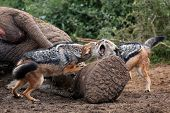 Jackal Fight