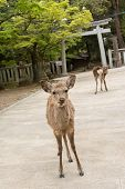 Deers stand on the way to the shrine of Kasuga Taisha in Nara, Japan.