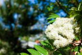 Nature. Bloosoming White Flowers Of Rowan Tree