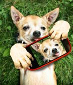 a cute chihuahua in the grass taking a selfie on a cell phone camera  poster