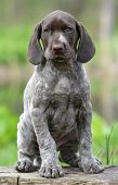 german shorthaired pointer puppy sitting on a log