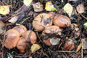 Nice Mushrooms Of Suillus