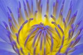 Purple water lily macro
