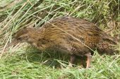 picture of australie  - The Weka  - JPG