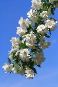 Blossoming Twig Of Jasmine Against A Blue Sky. Vertical