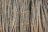 Sapling Of Cassava