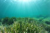 Sea Grass underwater