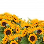 sunflowers and calendula flowers border
