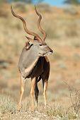 Big male kudu antelope (Tragelaphus strepsiceros), Kalahari desert, South Africa