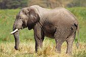 African bull elephant (Loxodonta africana), Amboseli National Park, Kenya