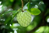 Custard Apple Fruit