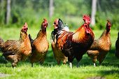 stock photo of grass bird  - Chickens on traditional free range poultry farm - JPG
