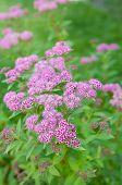 flowers of Spiraea japonica Froebelii
