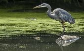 Great Blue Heron (ardea Herodias