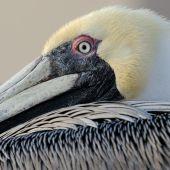 Pelican eye