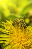 Bee, Bathing In The First Rays Of The Sun, Collecting Nectar From Dandelion