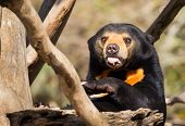 Sun Bear Tongue