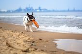 French bulldog playing on the beach at Baltic Sea
