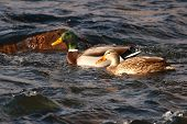 Mallard Pair Swimming