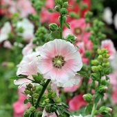foto of hollyhock  - the beautiful hollyhock flower in the garden