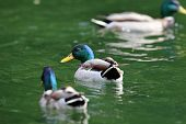 Two Males Mallard  Ducks