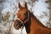 Side view portrait of an beautiful mare hungarian breed gidran 	Side view portrait of an beautiful