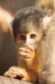 Squirrel Monkey Is On The Thumbs