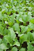 Vegetable - mustard greens