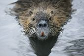 Coypu Swimming In The Water.