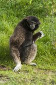 Lar Gibbon Sees Something.