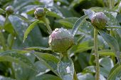 buds of peonies after rain