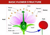 Anatomy of cherry flower.