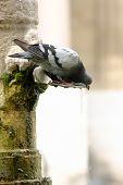 Pigeon drinking