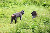 Sulawesi crested macaques swear.