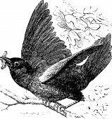 stock photo of bluebird  - Eastern bluebird or Sialia sialis vintage engraving - JPG