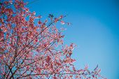 Pink Cherry Blossom and clear sky